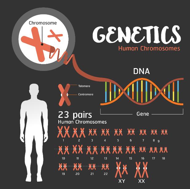 Representação dos 23 pares de cromossomos humanos no DNA.